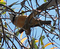 Bird Identification of Australian Birds - Sydney and Blue Mountains Bird Species - Rufous Whistler - Pachycephala rufiventris