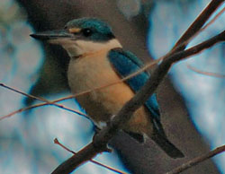 Bird Identification of Australian Birds - Sydney and Blue Mountains Bird Species - Sacred Kingfisher - Todiramphus sanctus