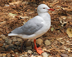 Bird Identification of Australian Birds - Sydney and Blue Mountains Bird Species - Silver Gull - Seagull - Larus novaehollandiae
