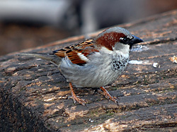 Bird Identification of Australian Birds - Sydney and Blue Mountains Bird Species - House Sparrow (Introduced) - Passer domesticus