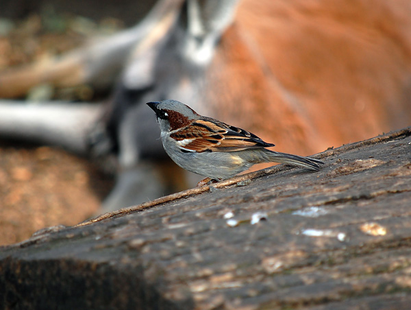 House Sparrow (Introduced) - Passer domesticus