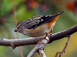 Bird Identification of Australian Birds - Sydney and Blue Mountains Bird Species - Spotted Pardalote - Pardalotus punctatus