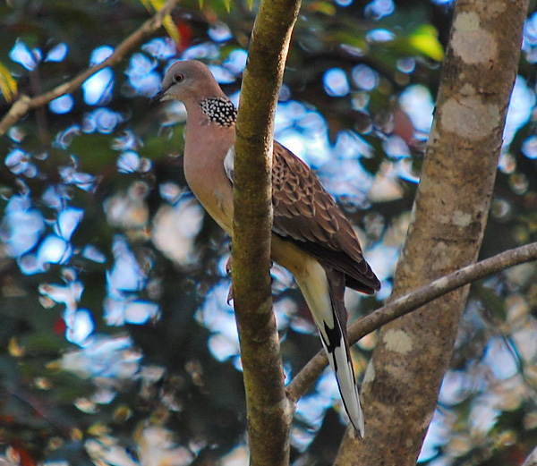 Spotted Turtle-Dove - Streptopelia chinensis
