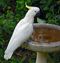 Bird Identification of Australian Birds - Sydney and Blue Mountains Bird Species - Sulphur-crested Cockatoo - Cacatua galerita