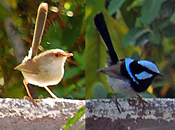 Bird Identification of Australian Birds - Sydney and Blue Mountains Bird Species - Superb Fairy-wren - Malurus cyaneus