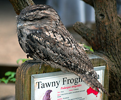 Bird Identification of Australian Birds - Sydney and Blue Mountains Bird Species - Tawny Frogmouth - Podargus strigoides