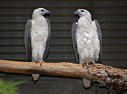 Bird Identification of Australian Birds - Sydney and Blue Mountains Bird Species - White-Bellied Sea-Eagle - Haliaeetus leucogaster
