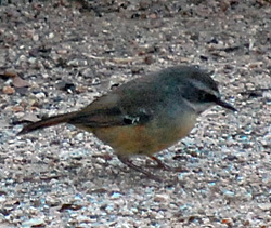 Bird Identification of Australian Birds - Sydney and Blue Mountains Bird Species - White-browed Scrubwren - Sericornis frontalis