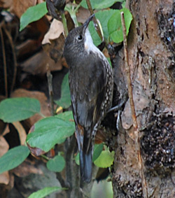 Bird Identification of Australian Birds - Sydney and Blue Mountains Bird Species - White-throated Treecreeper - Cormobates leucophaeus