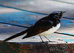 Bird Identification of Australian Birds - Sydney and Blue Mountains Bird Species - Willie Wagtail - Rhipidura leucophrys