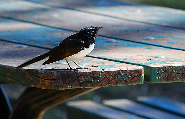 Willie Wagtail - Willy Wagtail - Rhipidura leucophrys