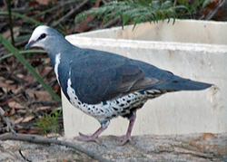 Bird Identification of Australian Birds - Sydney and Blue Mountains Bird Species - Wonga Pigeon - Leucosarcia melanoleuca