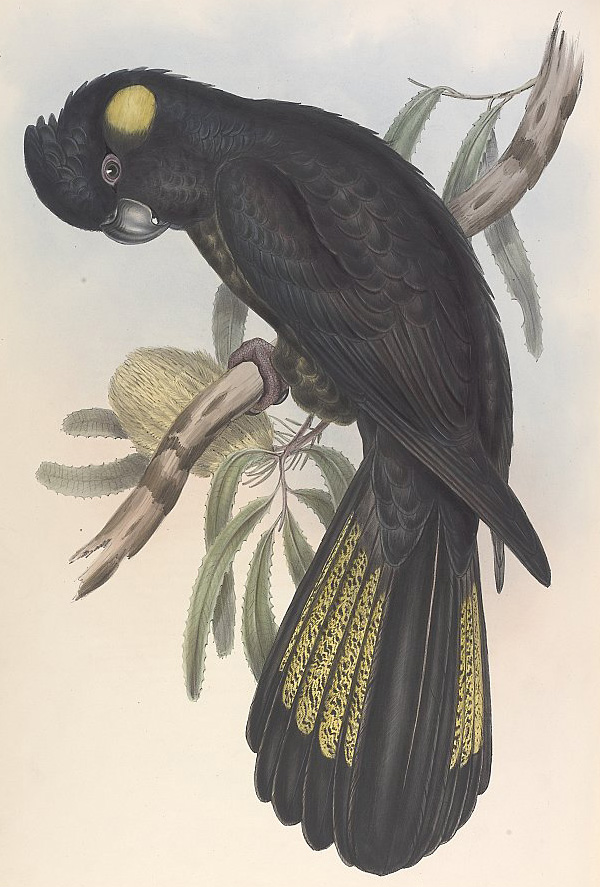 Yellow-Tailed Black-Cockatoo - Calyptorhynchus lathami
