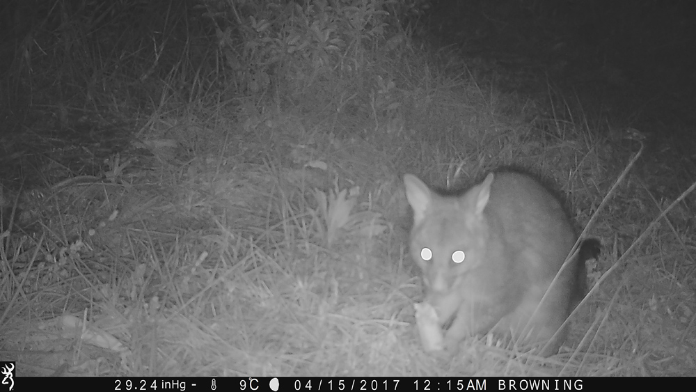 Photo: Brush-Tailed Possum - Using a Trail Camera to Practice Trapping and/or Study Animals
