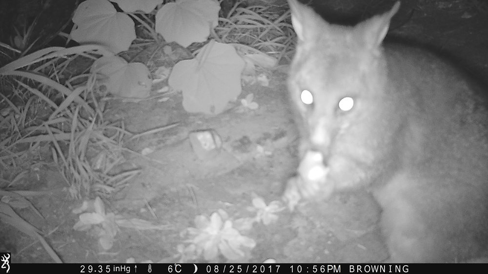 This possum is too close for the camera to focus properly. Note how the ground behind is in focus - Using a Trail Camera to Practice Trapping and/or Study Animals