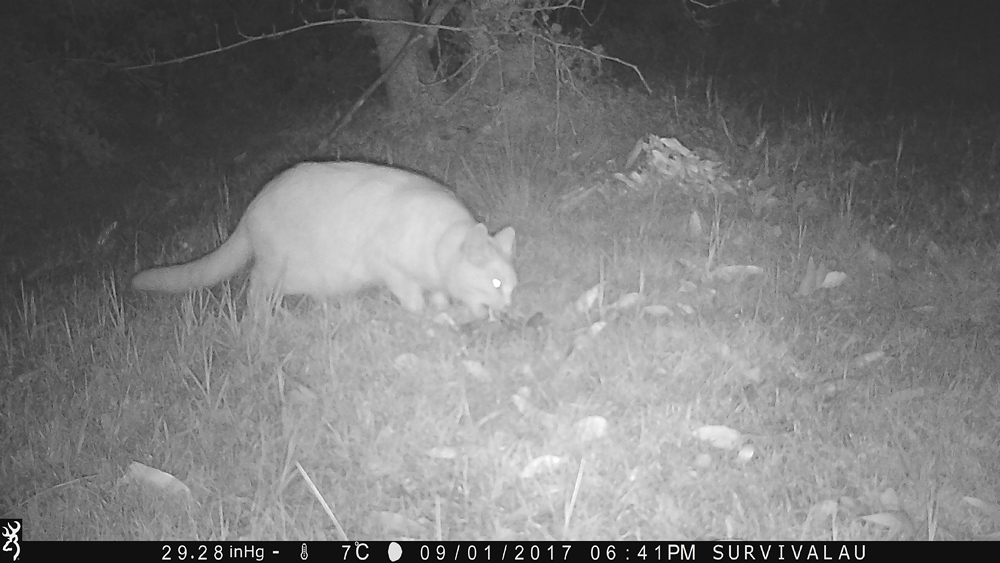 The cat looks different in the dark, seen in infrared light - Using a Trail Camera to Practice Trapping and/or Study Animals