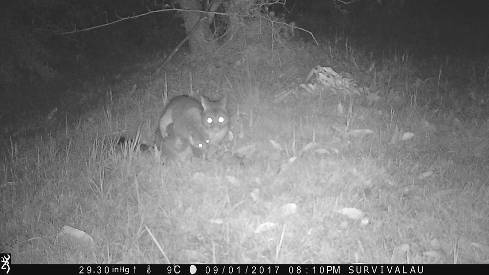At first I was suprised how interested the possums are in meat - Using a Trail Camera to Practice Trapping and/or Study Animals