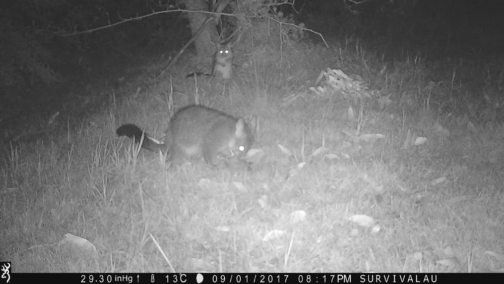 There were 221 pictures of this mum and baby possum taken between 8:04 and 8:50 pm - Using a Trail Camera to Practice Trapping and/or Study Animals