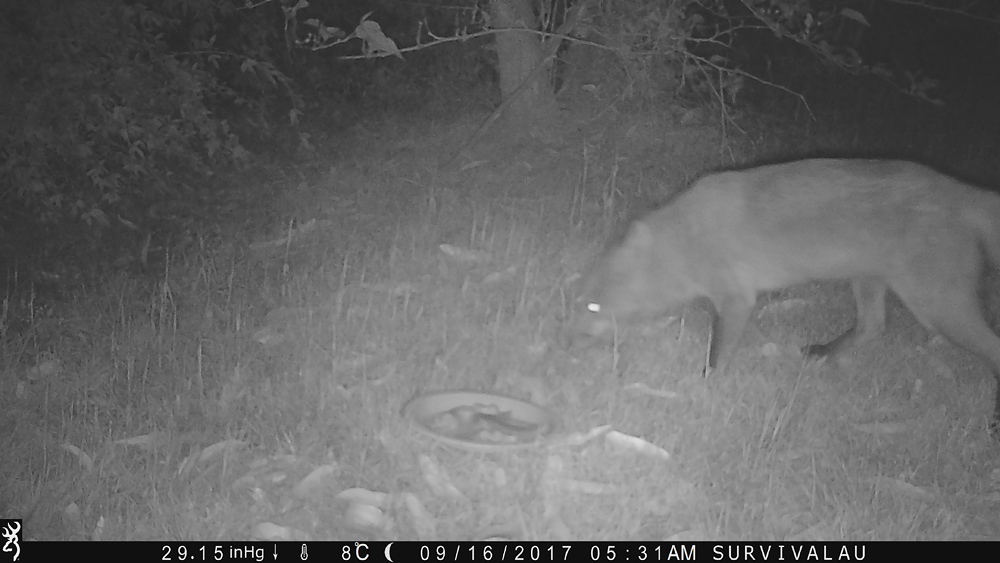 Here it comes! First glimpse... looks like a fox - Using a Trail Camera to Practice Trapping and/or Study Animals