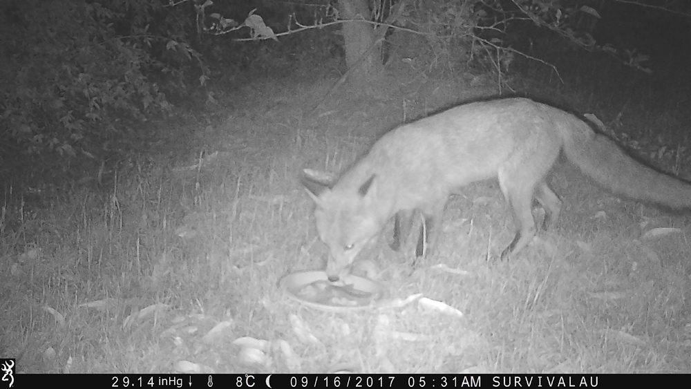 Yep, it's a red fox (the only kind we have here - Using a Trail Camera to Practice Trapping and/or Study Animals