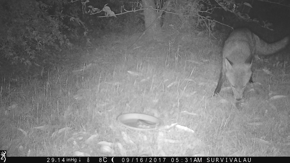 This photo is a bit clearer - Using a Trail Camera to Practice Trapping and/or Study Animals