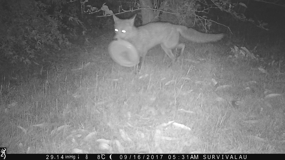 The fox picks up the plastic plate - Using a Trail Camera to Practice Trapping and/or Study Animals