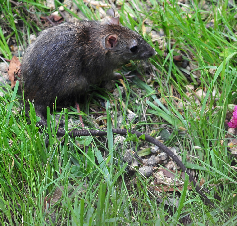 Black Rat - Rattus rattus