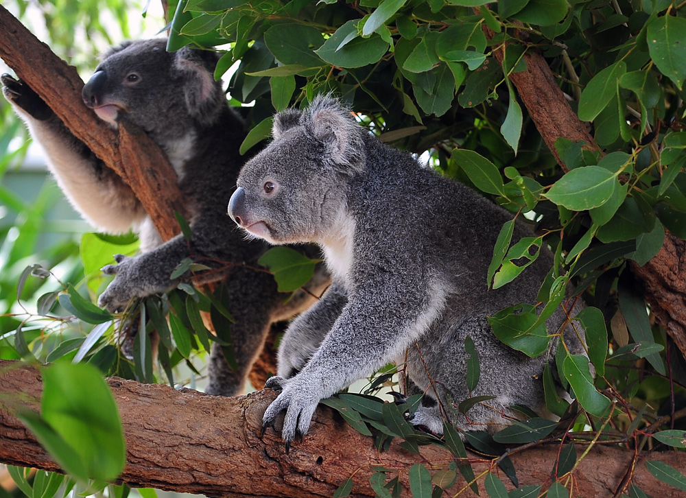Koala - Phascolarctos cinereus