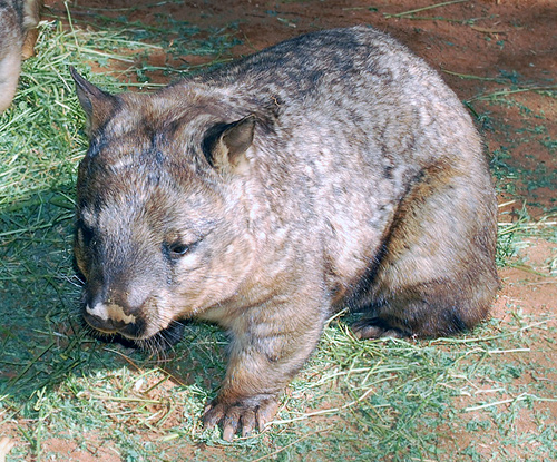 Southern Hairy-nosed Wombat - Lasiorhinus latifrons