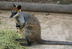 Swamp Wallaby - Wallabia bicolor