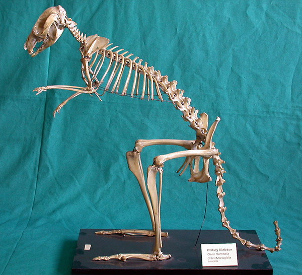 Wallaby Skeleton
