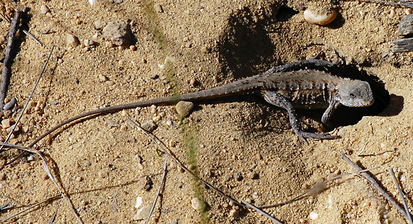 Mountain Dragon - Tympanocryptis diemensis