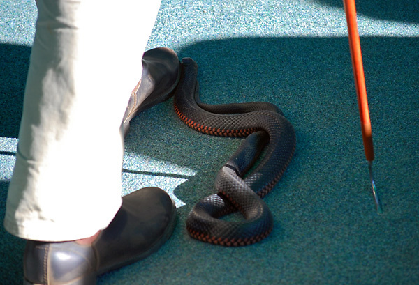 Red-bellied Black Snake - Pseudechis porphyriacus