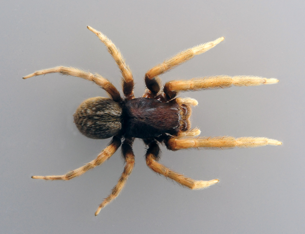 Australian Spider Quiz, Question 2 - Can you identify this spider?