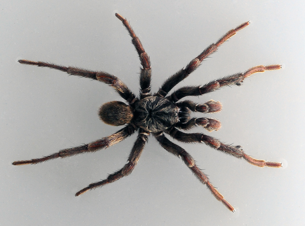 Australian Spider Quiz, Question 5 - Can you identify this spider?