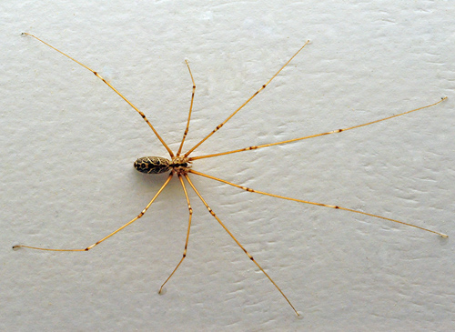 Daddy Long Legs Spider - Pholcidae family