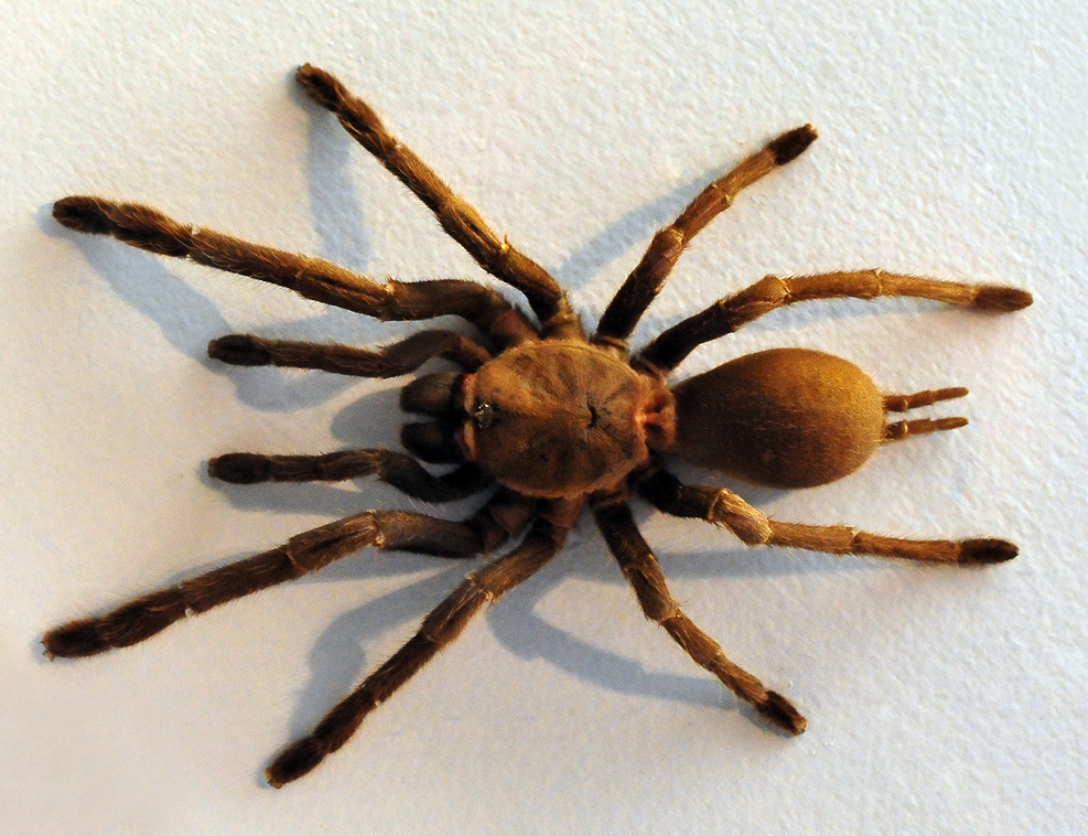 Australian Spider Quiz, Question 9 - Can you identify this spider?
