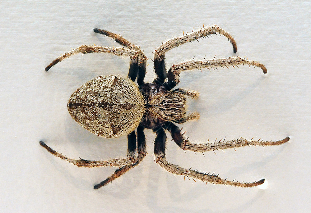 Australian Spider Quiz, Question 4 - Can you identify this spider?