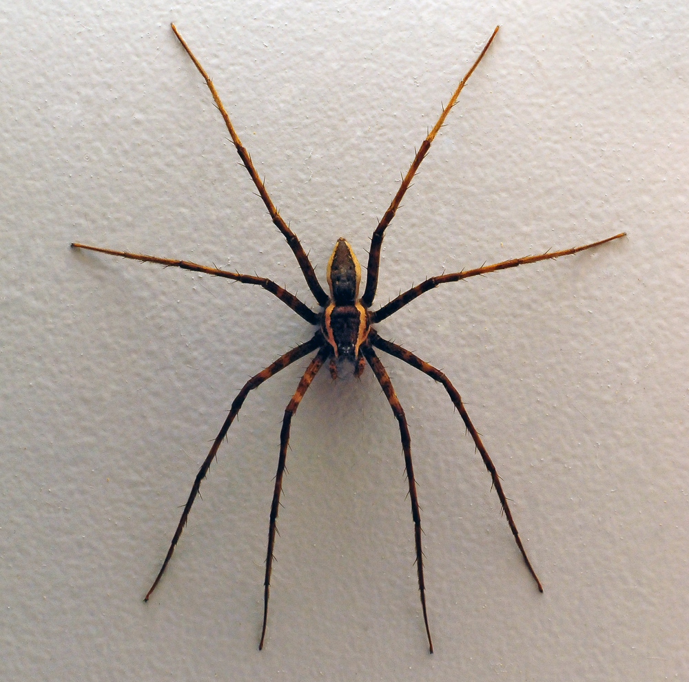 Australian Spider Quiz, Question 6 - Can you identify this spider?