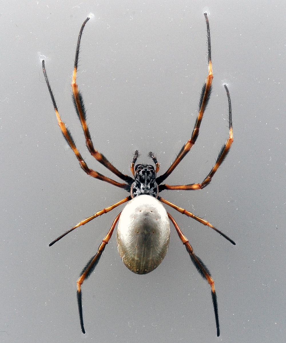 Australian Spider Quiz, Question 1 - Can you identify this spider?