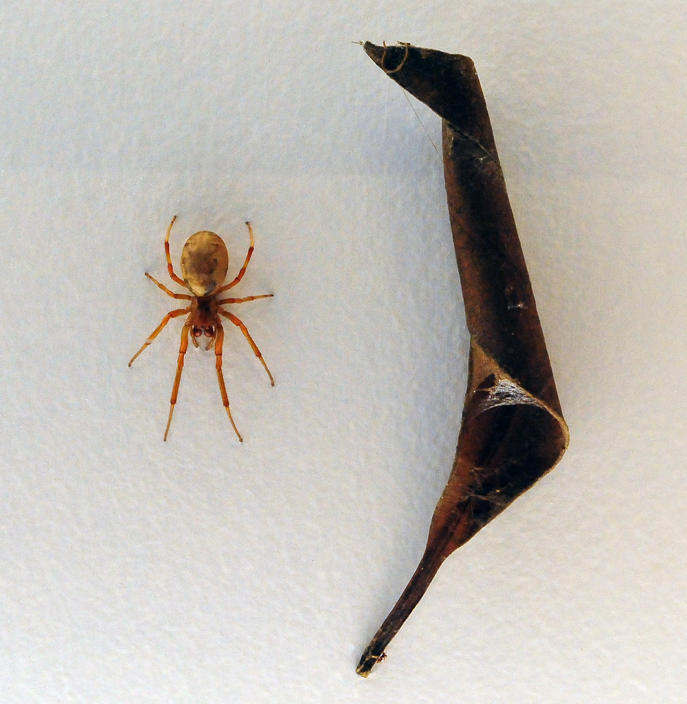 Leaf-Curling Spider - Phonognatha graeffei