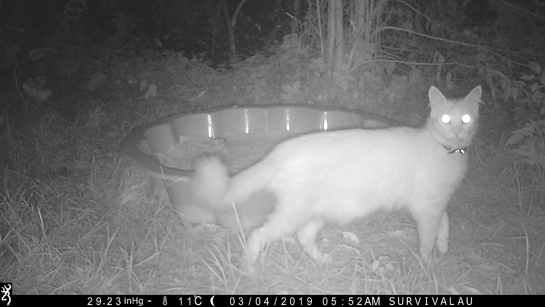 A cat visits the tracking box at night this time - Make an Instant Tracking Box to Learn Animal Tracking - Survival.org.au