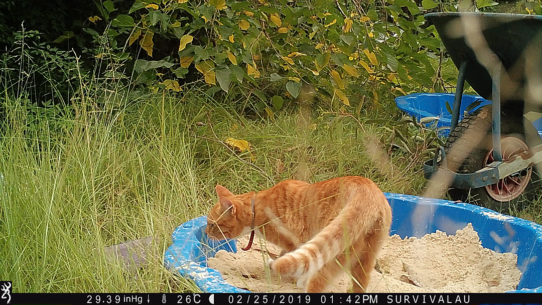 In the afternoon a cat visits the tracking box. There were 13 photos showing the cat at this time of its visit - Make an Instant Tracking Box to Learn Animal Tracking - Survival.org.au