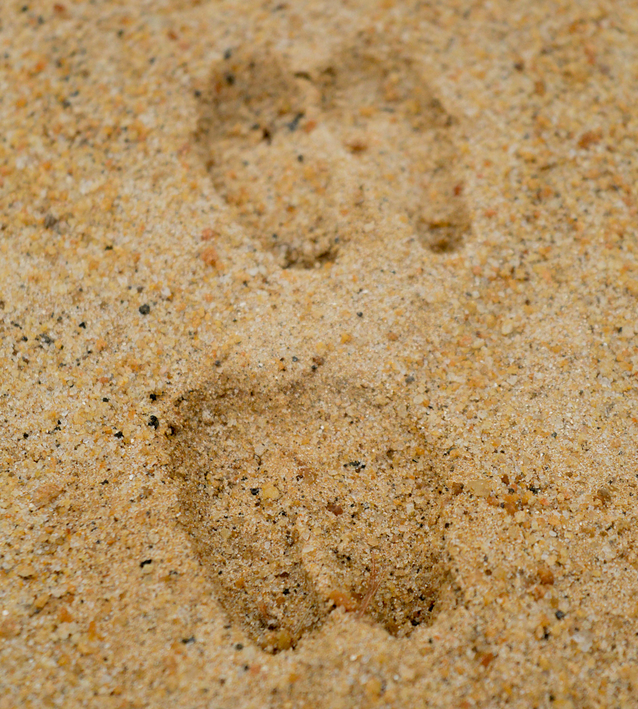Animal Tracking Quiz, Question 2 - Can you identify this animal track?