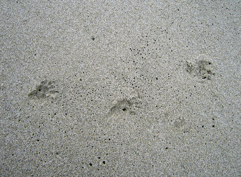 Animal Tracking Quiz, Question 7 - Can you identify this animal track?