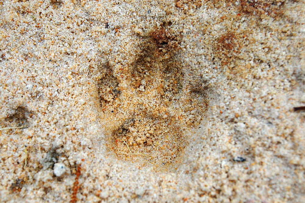Close up of an animal track from the tracking box - Make an Instant Tracking Box to Learn Animal Tracking - Survival.org.au