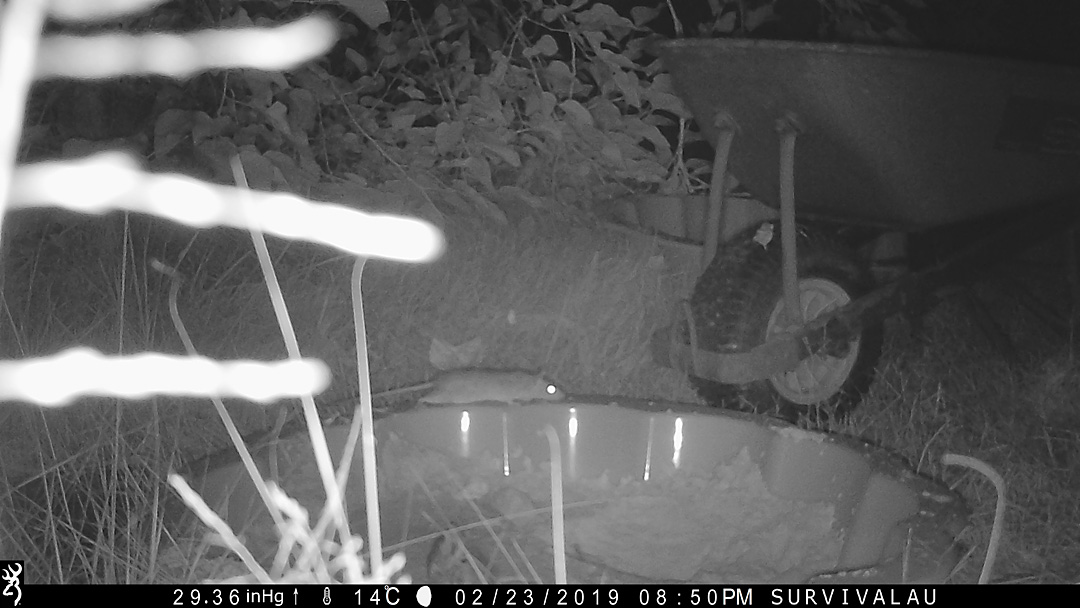 First photo of a moving animal in front of the trail camera - Make an Instant Tracking Box to Learn Animal Tracking - Survival.org.au