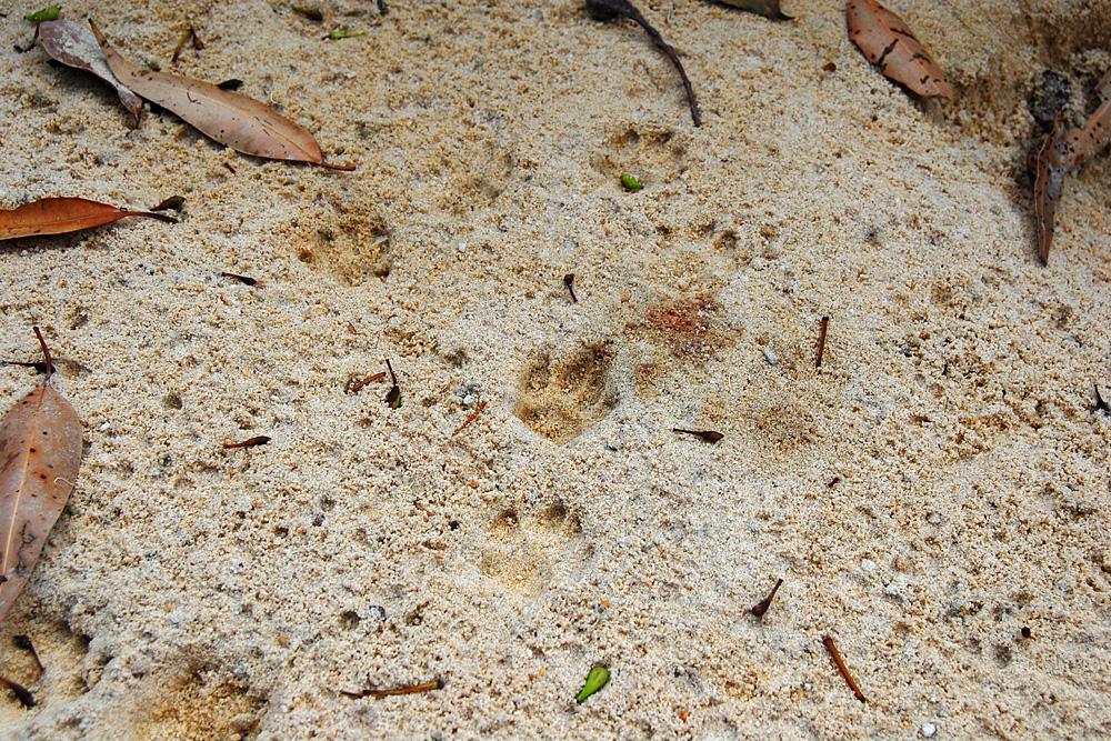 Animal tracks from the tracking box. These animal tracks were found long after the animal was gone, leaving a record of its presence there - Make an Instant Tracking Box to Learn Animal Tracking - Survival.org.au