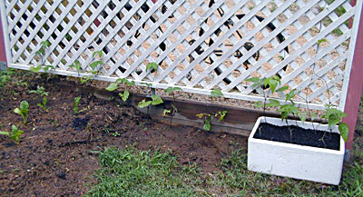 Starting a Vegetable Garden - Beans Growing up Trellis